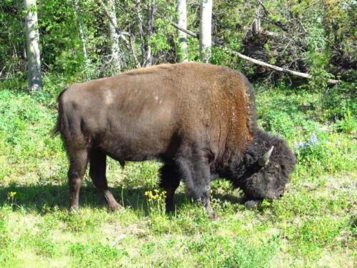 Huge Bison